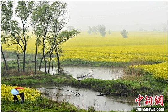江西九江下雨赏油菜花